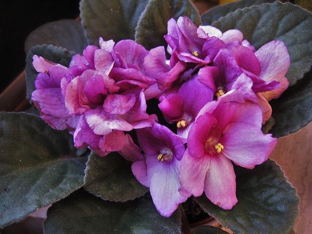 africká fialka růžová